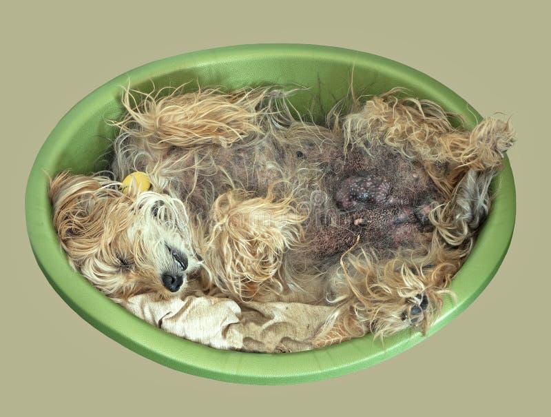 Geretteter verlassener Hund mit dem Brustkrebs, entspannend lizenzfreie stockfotos
