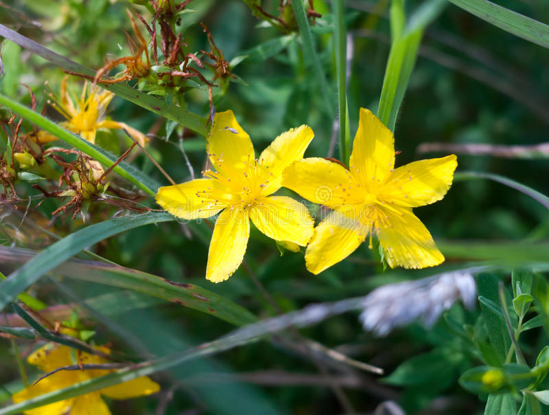 Geriebene Gras mit zwei durchlöchern das gelbe Blumenknospen ` Johannes Swürze Hyp lizenzfreies stockfoto