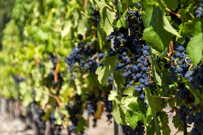 Gerijpte druiven op een wijnstok stock foto's