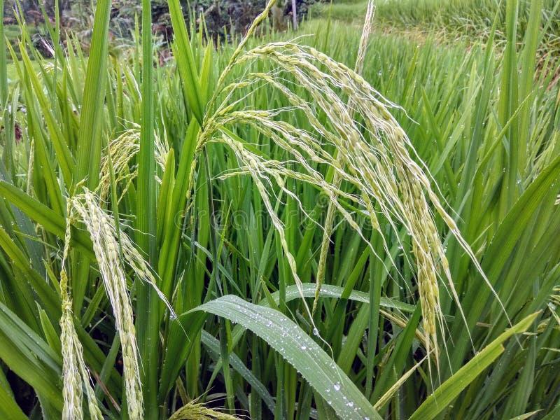 Gerijpte rijst op padiegebieden in Bali, Indonesië royalty-vrije stock afbeeldingen