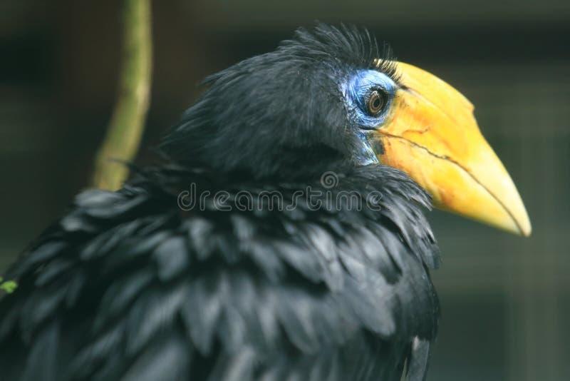 Gerimpeld hornbill stock foto's