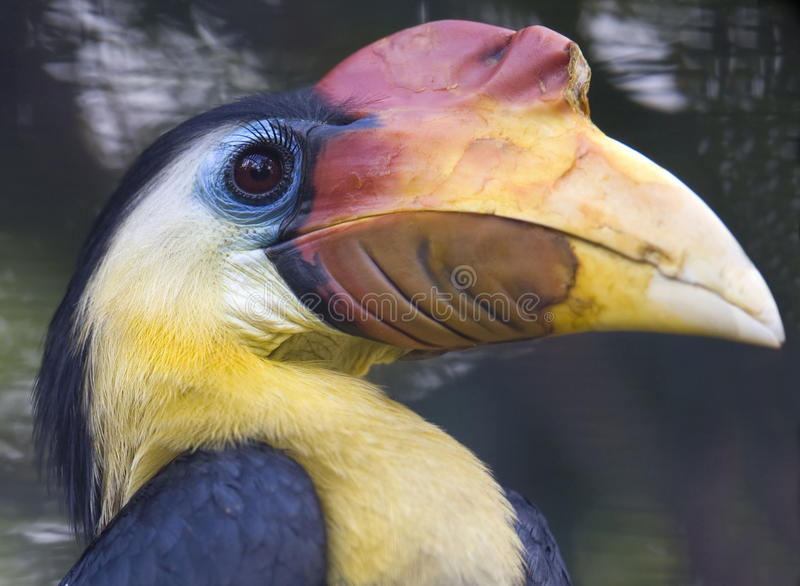 Gerimpelde hornbill de papegaaitoekan van Indonesië royalty-vrije stock afbeeldingen