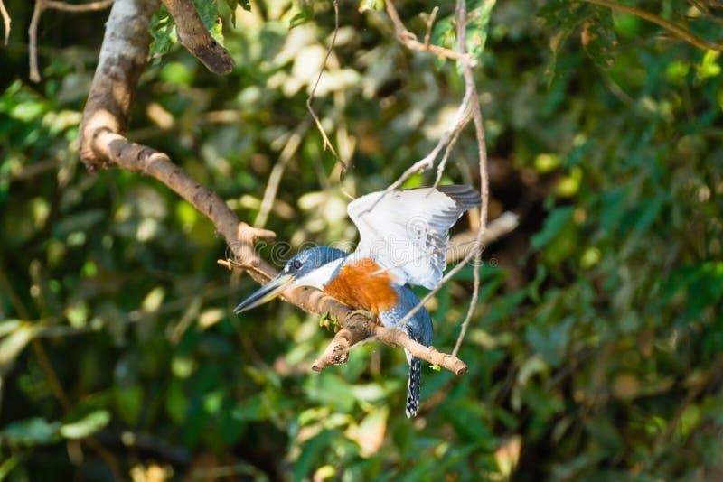 Geringde ijsvogel op de aard in Pantanal, Brazili? stock afbeeldingen
