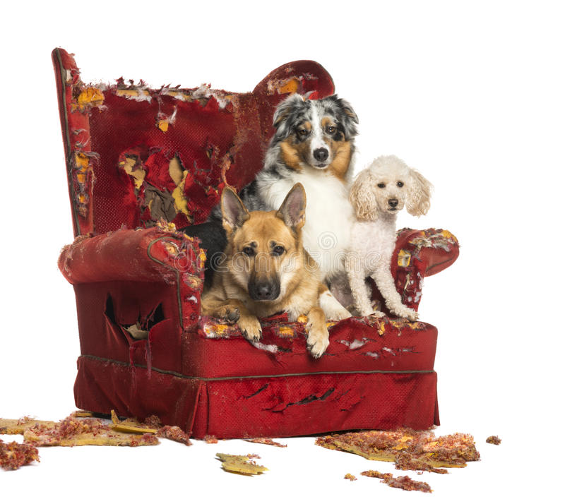 German and Australian Shepherd and Poodle on destroyed armchair. German and Australian Shepherd and Poodle on a destroyed armchair, isolated on white royalty free stock photo
