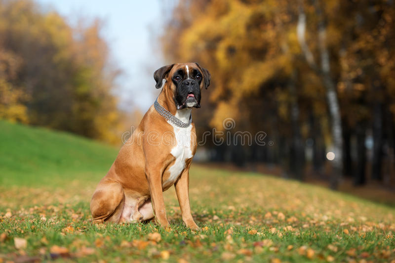 German boxer dog outdoors royalty free stock images