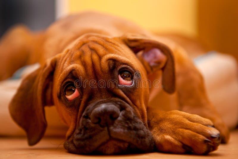 German boxer - sad puppy dog stock photos