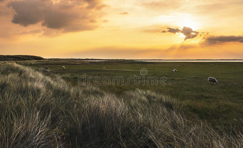 German grassland landscape with sheep at sunrise royalty free stock photos