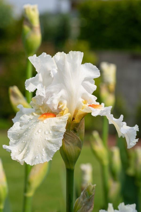 German iris, Iris barbata royalty free stock photography