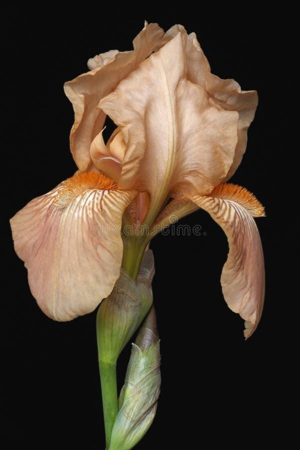 German iris flower stock image