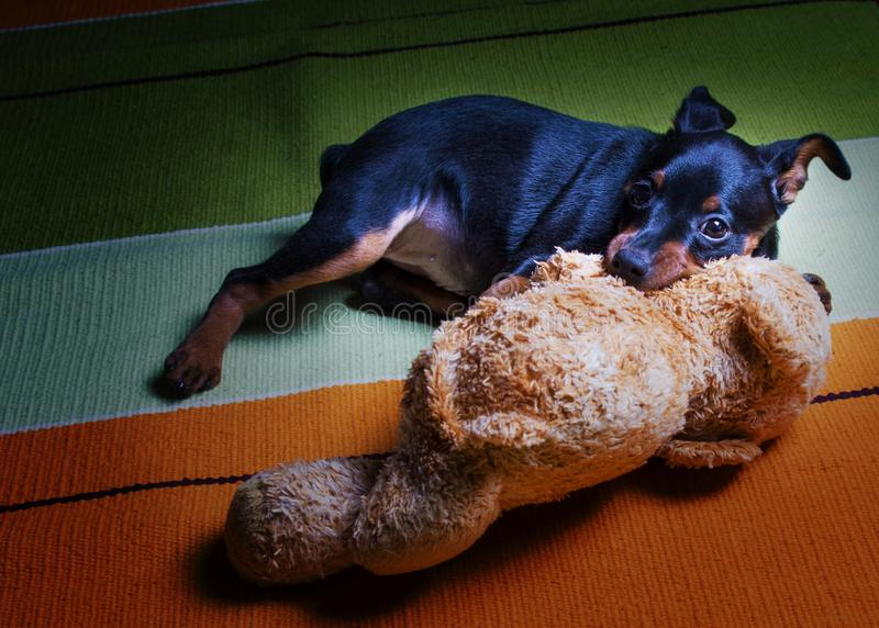 German miniature Pinscher puppy black tan color plays with a soft Teddy bear on the rug on the floor royalty free stock photography
