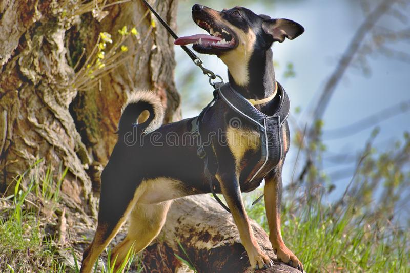 The German Pinscher. Is a medium-sized breed of dog. Dog on a leash stock photography