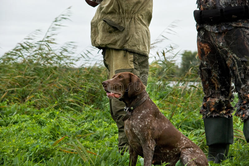 German pointer hunting. German pointer and closeup of two man at hunting royalty free stock photo