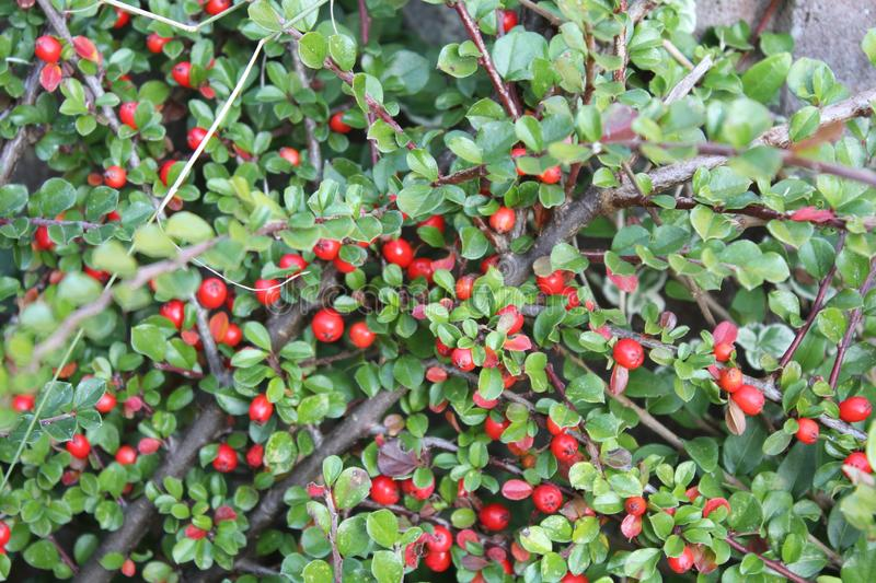 German red berries bush closeup. Wild decorative plant. Found in most gardens and parks in Germany. Taken in garden in Bavaria, Germany royalty free stock photos