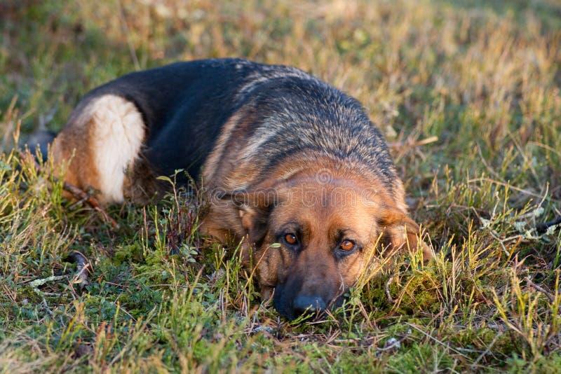 German Sheepdog Royalty Free Stock Photos