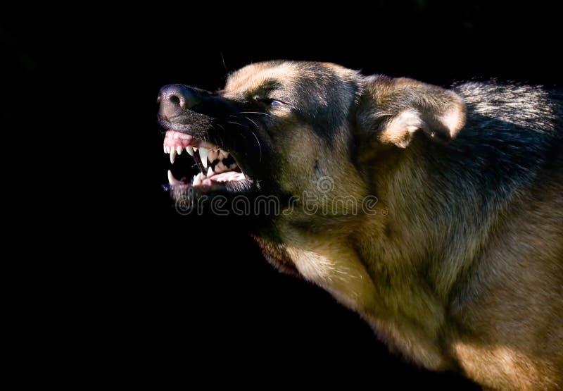 Download German shepard stock image. Image of bark, guard, canine - 13069589