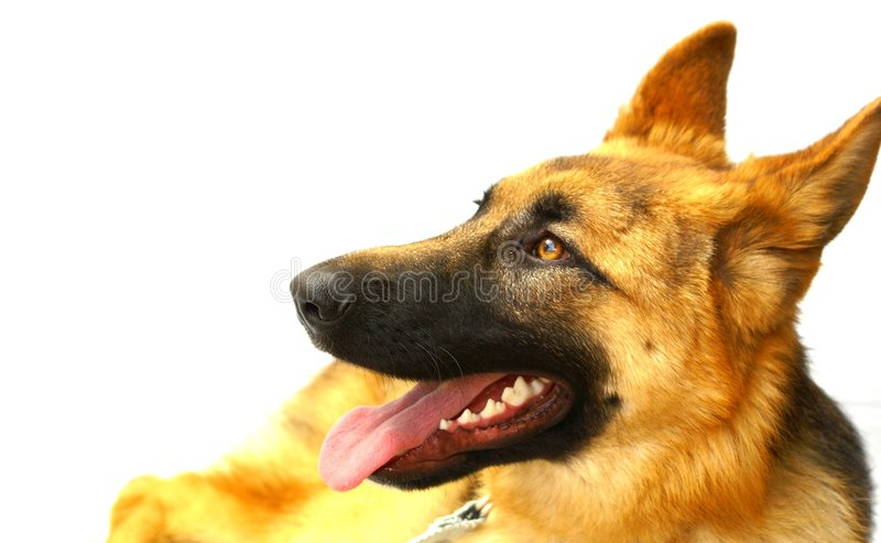 Download German Shepard stock photo. Image of quietly, contentedly - 5604220