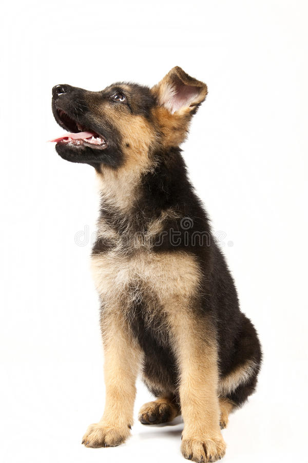 German shepard dog royalty free stock image