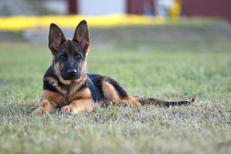 Download German shepard dog stock image. Image of brown, exhibition - 17902677