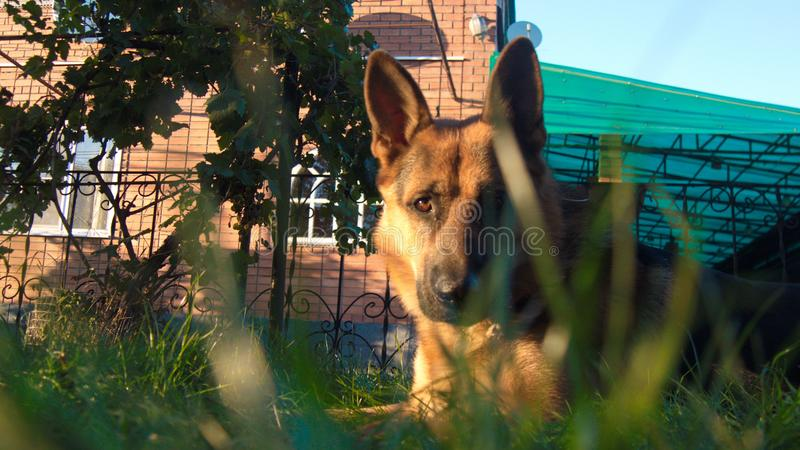 German shepard in the garden, background house stock image