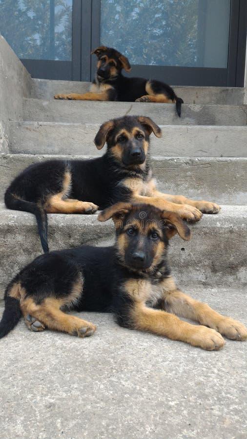 German Shepherd puppies. 3 month old puppies stock image