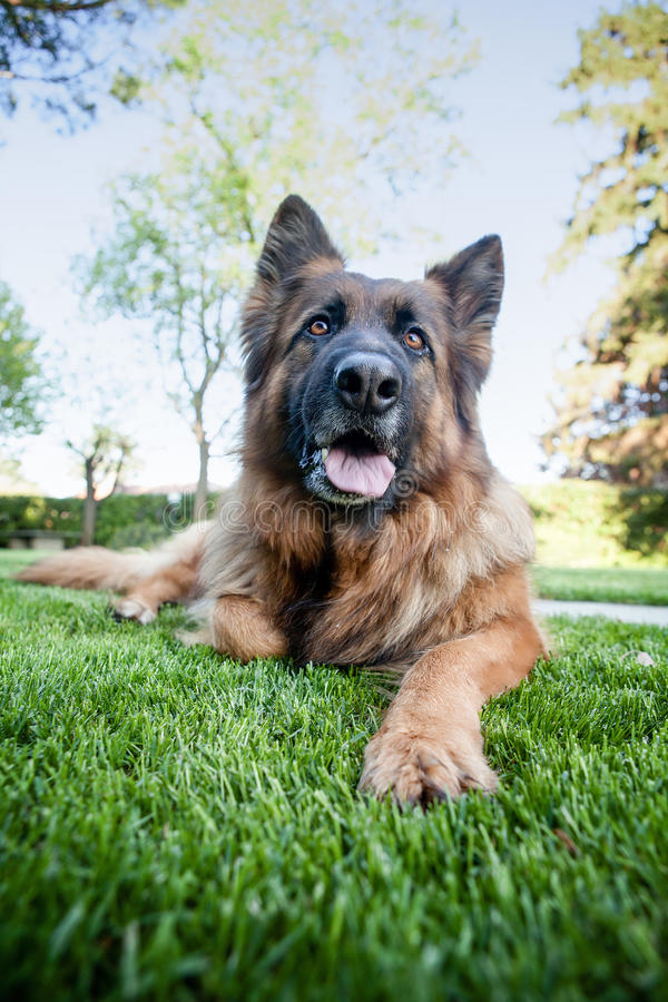 German sheper laying in the grass royalty free stock photography