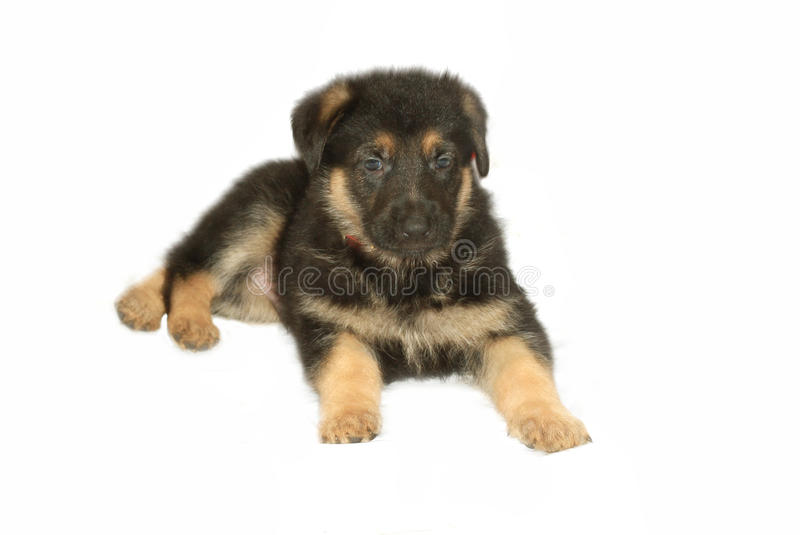 German Sheperd Puppy royalty free stock photography