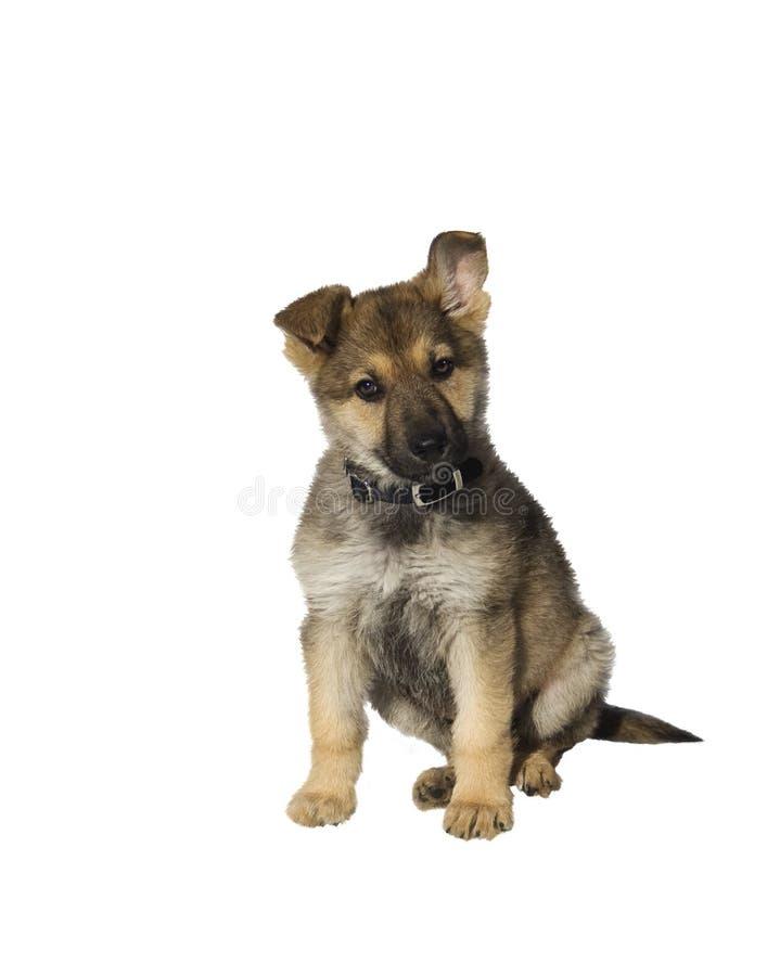 German Sheperd Puppy Royalty Free Stock Photo
