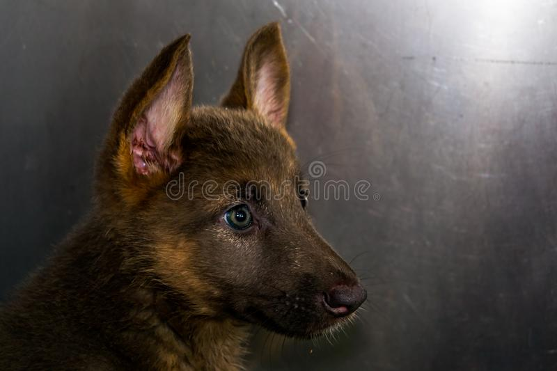 German sheperd puppy portrait at the veterinary clinic royalty free stock photos
