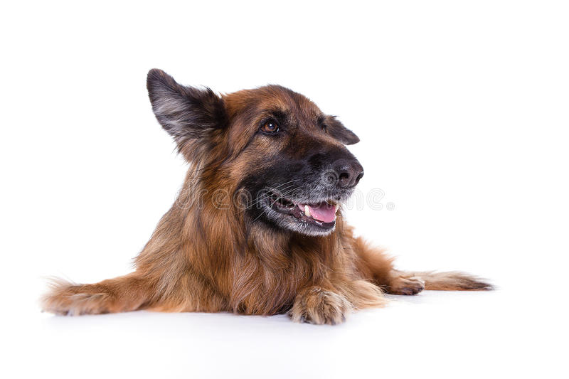 German sheperd in white background watching left side royalty free stock photography