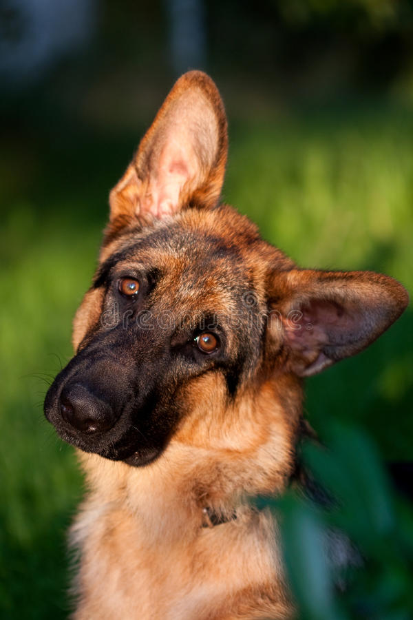 German shepher. Tilting the head stock image