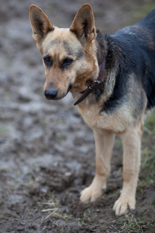 Download German shepherd stock photo. Image of animals, canine - 13433182