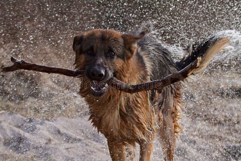 German Shepherd. Playing by the lake stock photo