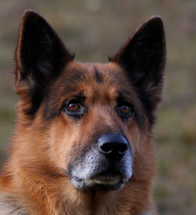 Download German shepherd stock image. Image of breed, portrait - 15788011