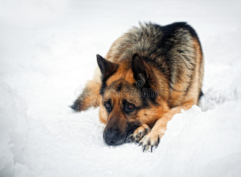 Download German shepherd stock photo. Image of snow, hair, large - 18251900