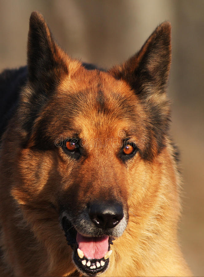 Download German shepherd stock image. Image of face, doggies, position - 21999233
