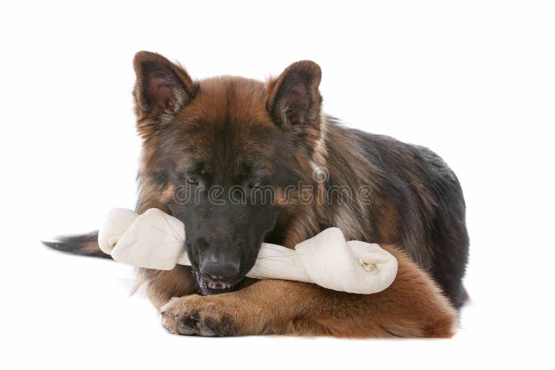 Download German Shepherd stock photo. Image of pedigree, mammal - 22034528