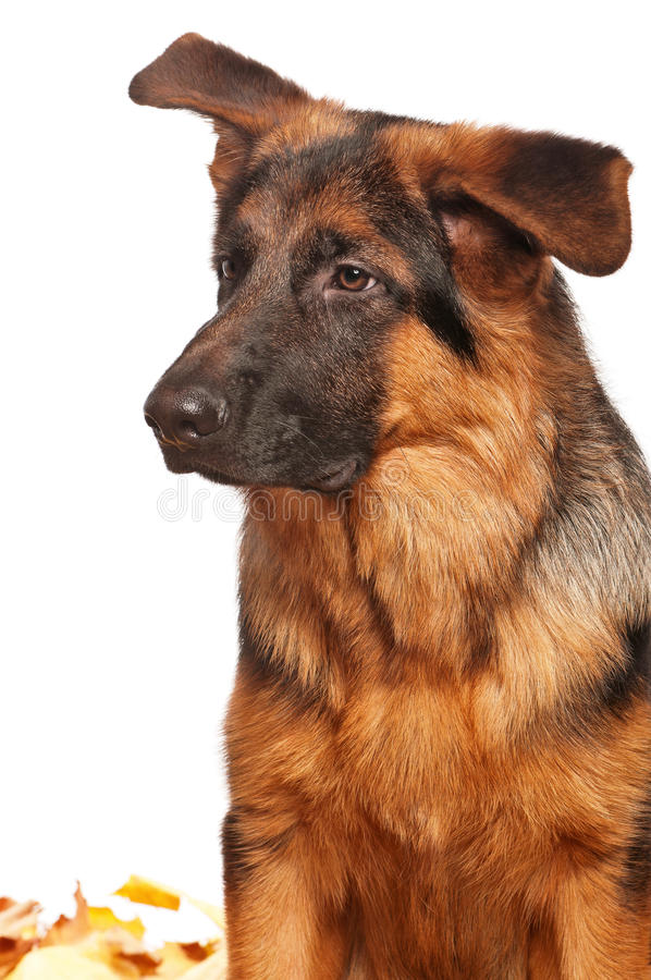 Download German shepherd stock image. Image of obedience, pedigreed - 22240933