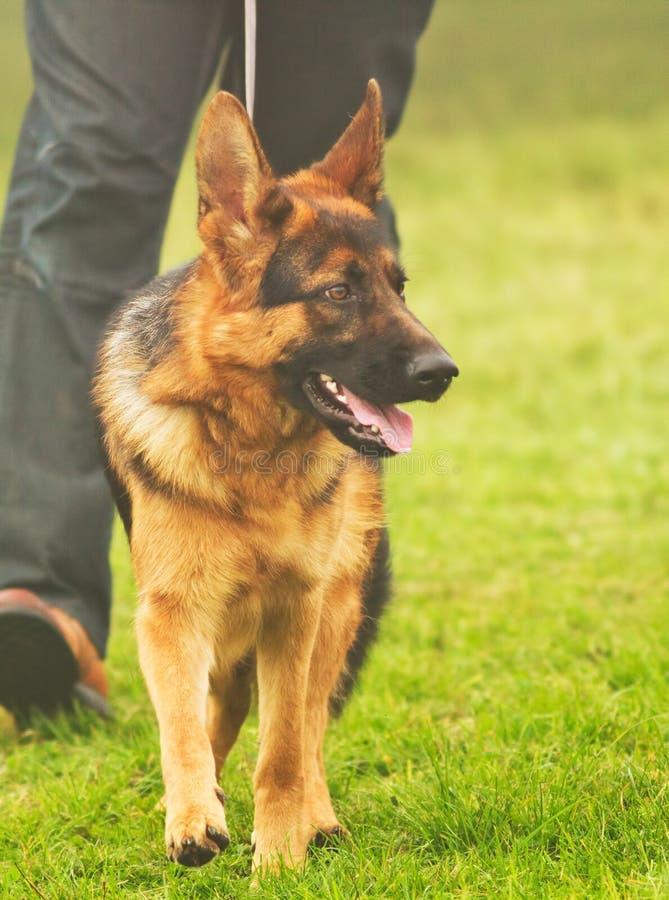 Download German shepherd stock image. Image of portraits, doggy - 27248317