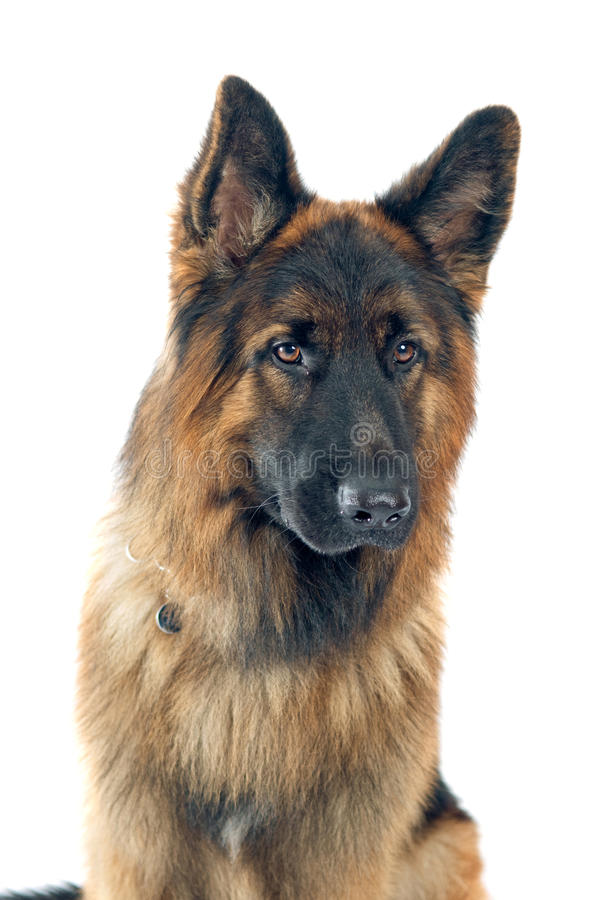 Download German Shepherd Stock Image - Image: 27496111