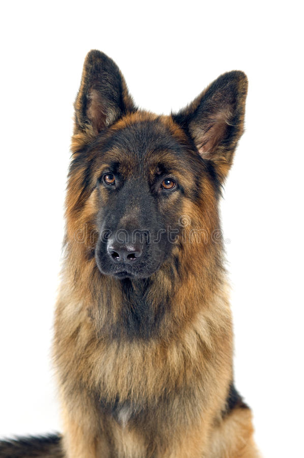 Download German shepherd stock photo. Image of large, isolated - 27496156