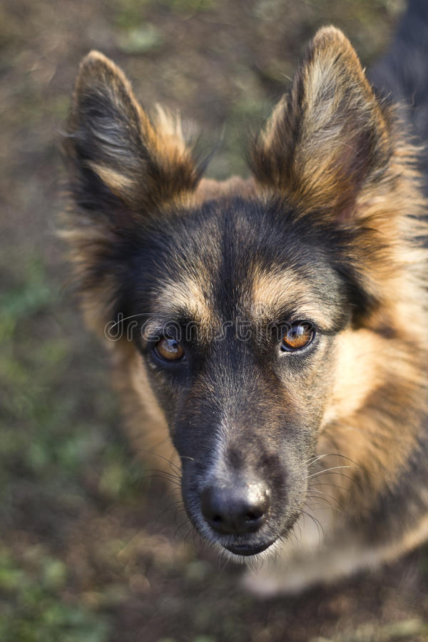German Shepherd. A portrait of German Shepherd stock photos