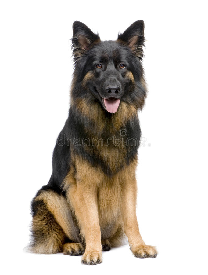 German Shepherd, 3 Years Old, Sitting Royalty Free Stock Image