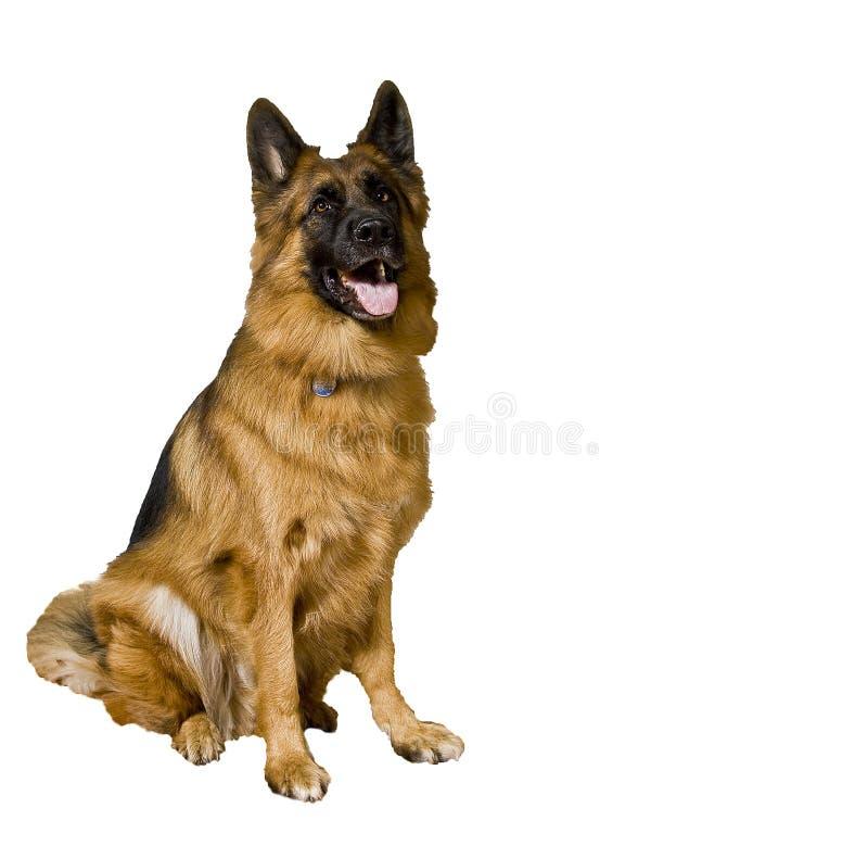 Download German Shepherd stock photo. Image of adopt, mouth, best - 8145842