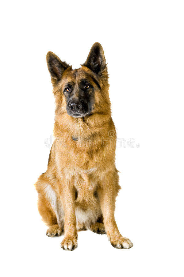 German Shepherd royalty free stock photography