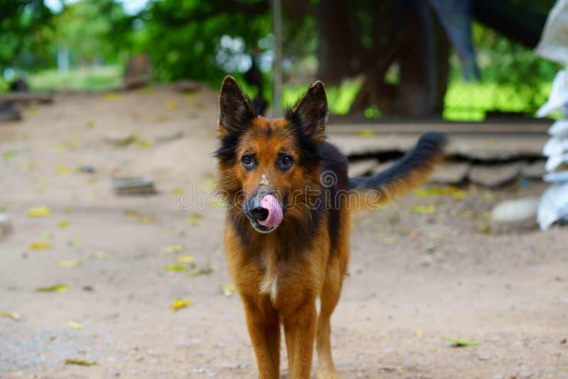 German Shepherd, Alsatian dog stock photos