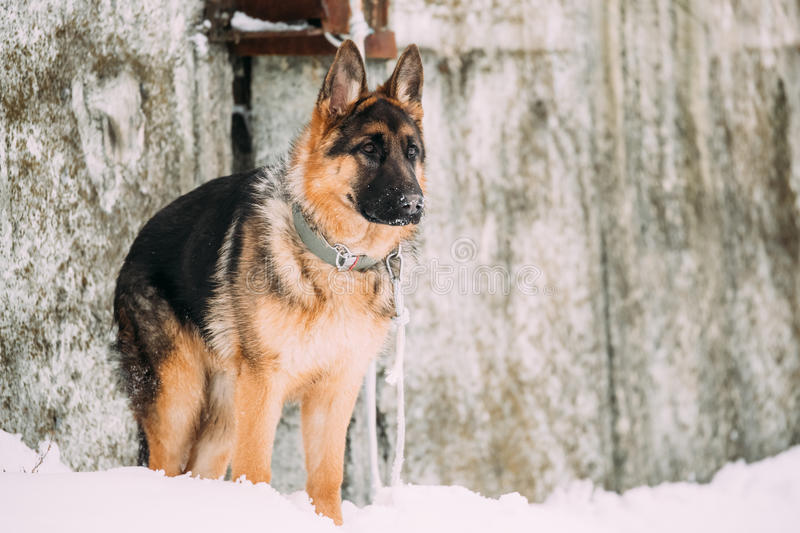 German Shepherd Alsatian Wolf Dog Staying Outdoor Near Wall At Winter. Beautiful Young Brown German Shepherd Alsatian Wolf Dog Staying Outdoor Near Wall At stock images