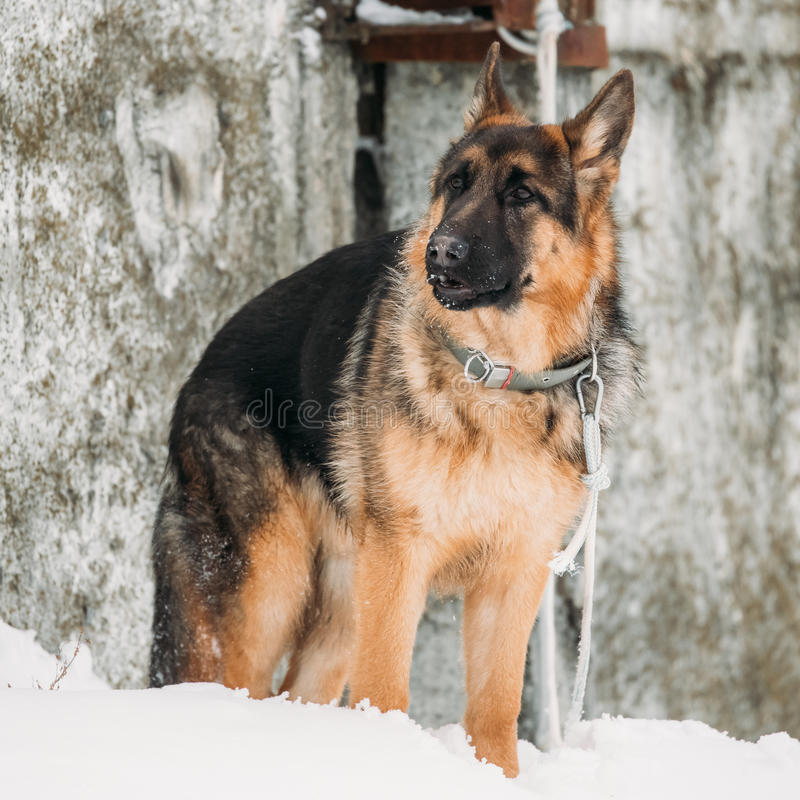 German Shepherd Alsatian Wolf Dog Staying Outdoor Near Wall At Winter. Beautiful Young Brown German Shepherd Alsatian Wolf Dog Staying Outdoor Near Wall At stock photography