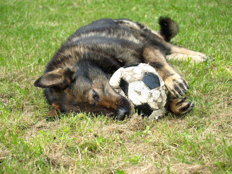 German shepherd with a ball. stock images