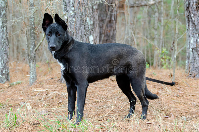 German Shepherd Belgian Malinois mixed breed royalty free stock photo