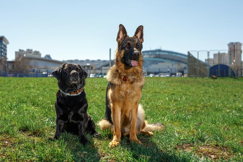German Shepherd and Black Labrador sit and listen to the command royalty free stock image